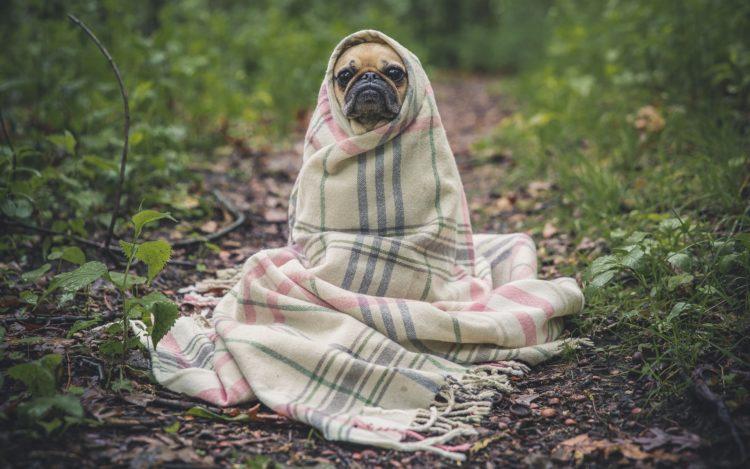 Hund Mops in Decke eingewickelt