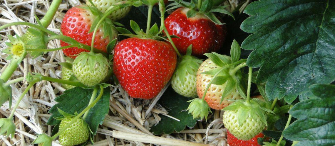grüne und rote Erdbeeren Stroh zum Artikelthema Grün und nachhaltig: Biologisches Gärtnern voll im Trend